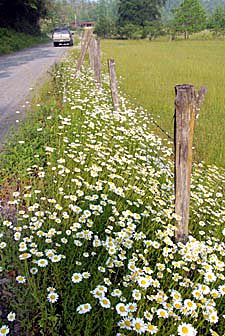 D080531-019BurkeCoNcDaisiesByFence02