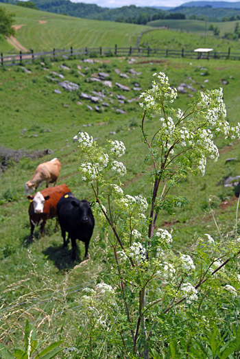 D100607-022SmythCoVaPoisonHemlockWithCows03
