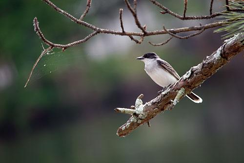 150524-003SmpFlycatcherEasternKingbird-TyrannusTyrannus03