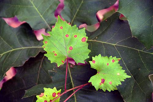 150531-003SmpMuscadineGrape-VitisRotundifolia-LeafWithRedSpots03