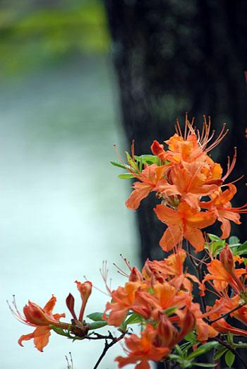 150426-013SmpOconeeAzalea-RhododendronFlammeum03