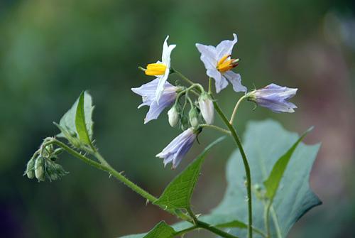 150525-008SmpHorseNettle-SolanumCarolinense03