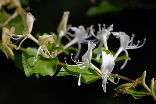 150501-017SmpJapaneseHoneysuckle-LoniceraJaponica-Flower03