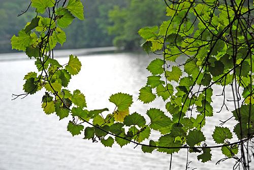150517-047SmpMuscadineGrape-VitisRotundifolia-LeavesWreath03