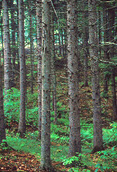 060934pinegroveandferns