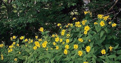 112016brpmp449sunflowers