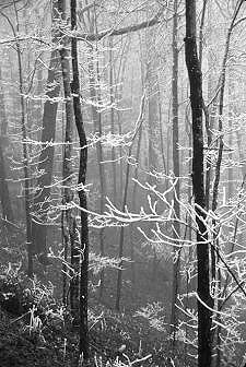 137011snowybranches01a