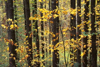 141028yellowleavesdarktrees