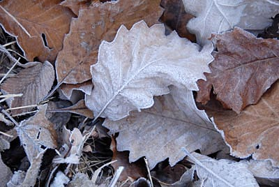 D071204007lincolncotnfrostyleaves02